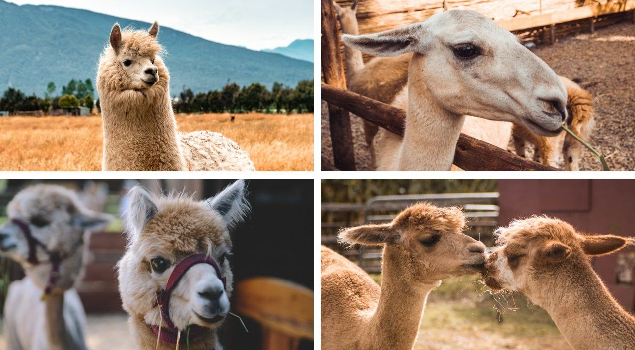 Alpaca and Llama images for Few-shot Learning